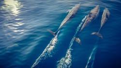 La mort de dauphins liée à une algue toxique dans le golfe du