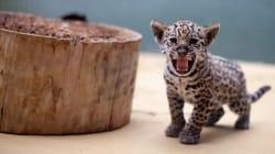 Así han crecido las cachorritas jaguar que están siendo criadas en cautiverio y sin contacto