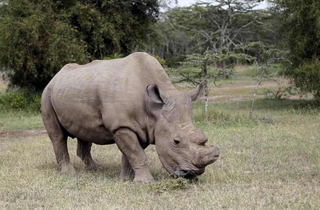 World's last male northern white rhino dies in Kenya at age