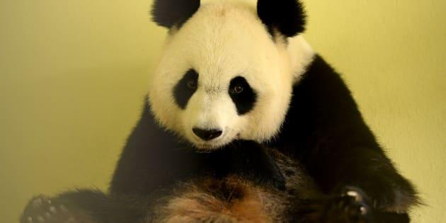 Huan Huan au zoo de Beauval, le 26 juillet.