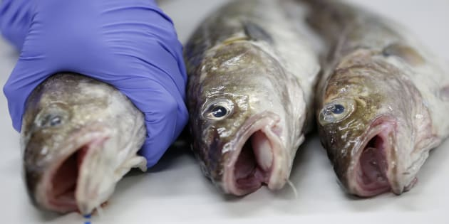 A Japanese laboratory worker holding a fish during a radioactive analysis on Dec. 10, 2013. A B.C. chemical oceanographer says fish and human health was unaffected by Fukushima.