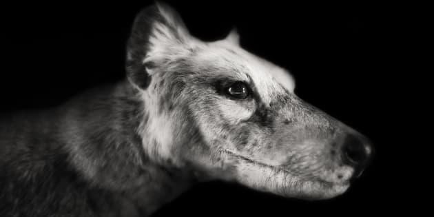 Meet Thylacine, a.k.a. Tasmanian Tiger.
