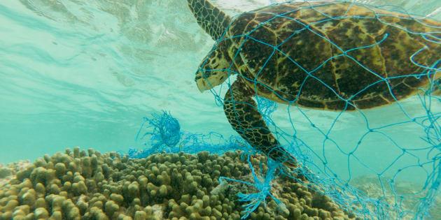 Tortuga marina atrapada en una red de plástico.
