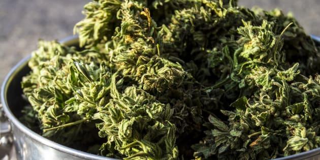 Marijuana buds drying.