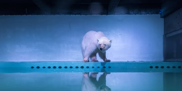A sad polar bear that captured the world's attention is being moved back to his parents.