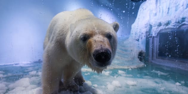 Pizza the polar bear leans on the glass inside his home in a mall in China.