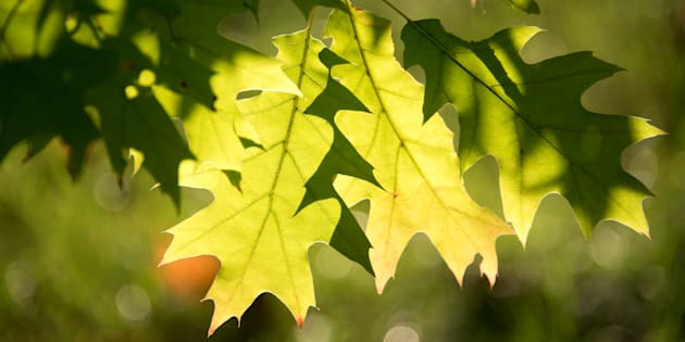 Light shines behind two green leaves on a tree in Toronto.