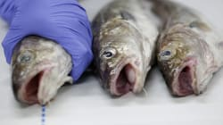Fukushima Did Not Make Canadian Fish Dangerous To Eat: