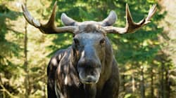 Brawl With Moose Leaves Nfld. Hunter With Hoof-Shaped