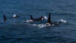 Un brise-glace déployé au large des côtes pour aider les baleines