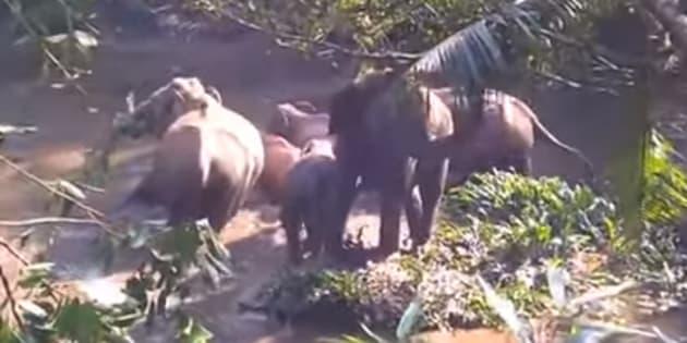 Secouru par des forestiers, cet éléphanteau a pu retrouver sa maman et son troupeau