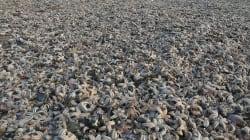 Thousands Of Dead Starfish Blanket British Beach Following Sub-Zero