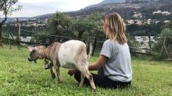 Faire du yoga avec des chèvres, c'est désormais possible en