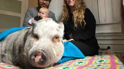 Montréal pourrait permettre les cochons