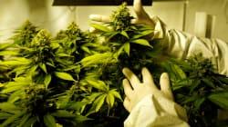 Cannabis: les produits comestibles devront arriver vite, dit