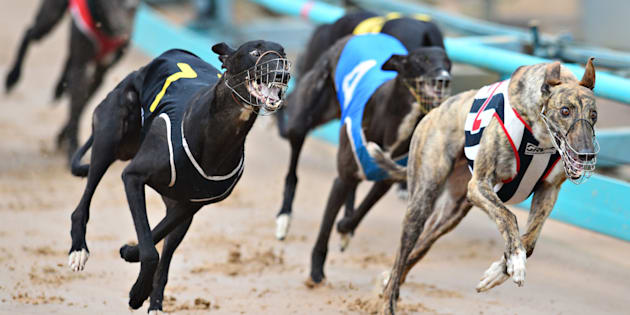 Up to 10,000 greyhounds are facing adoption or euthanasia.