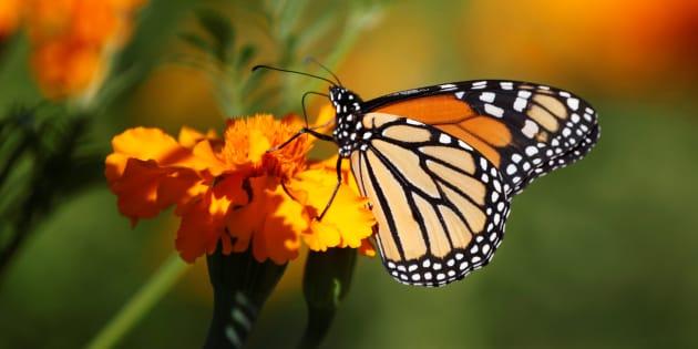 Le mur de Trump inquiète aussi le Mexique pour la survie de ces papillons