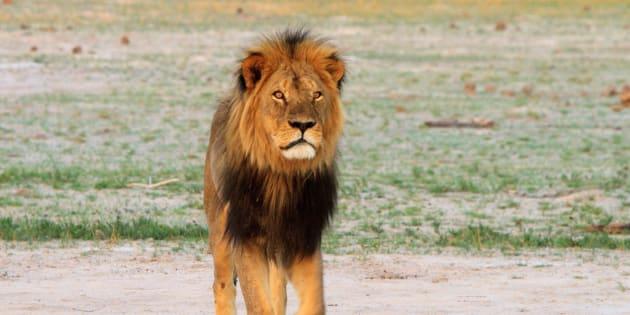 Cecil a été abattu en2015 par un dentiste américain au Zimbabwe.