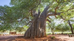 Ancient Baobab Trees Are Mysteriously