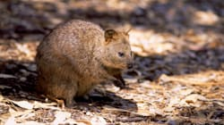 Two Men Charged For Kicking A Quokka On Rottnest