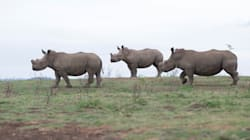 One In 20 SA Rhinos Poached In