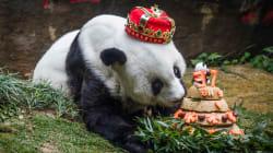Basi, le plus vieux panda du monde est