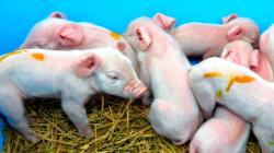 金足農業、4強入りした日に子ブタが9匹生まれたよ