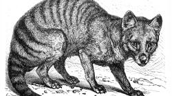 Resurge esperanza de hallar vivo al tigre de Tasmania; lanzan