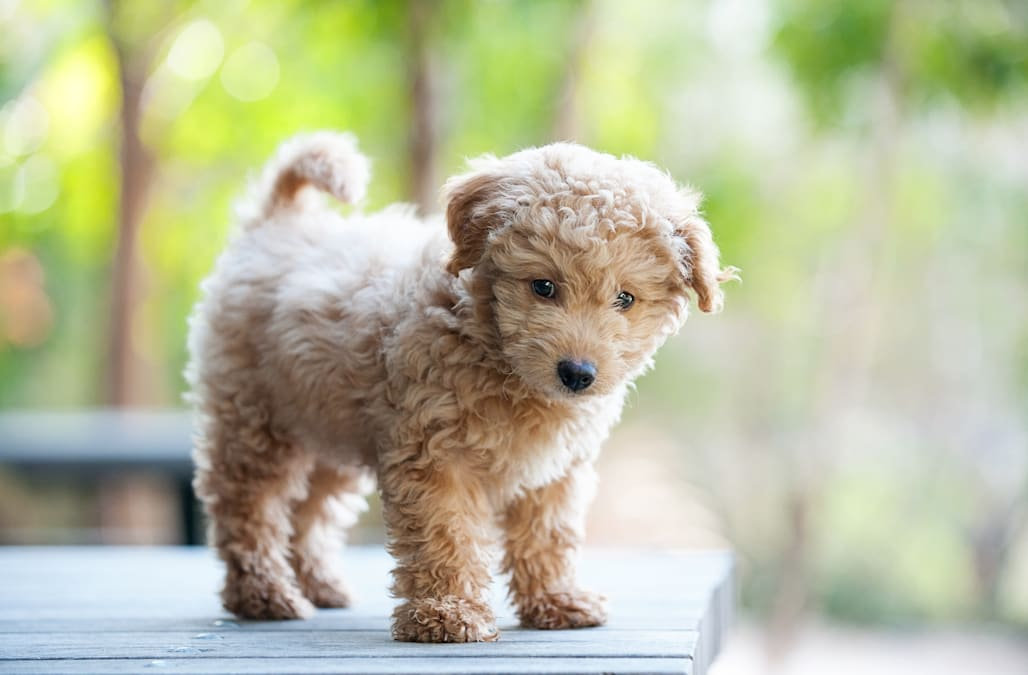 10 Adorably Small Dog Breeds That Stay Small Aol Lifestyle