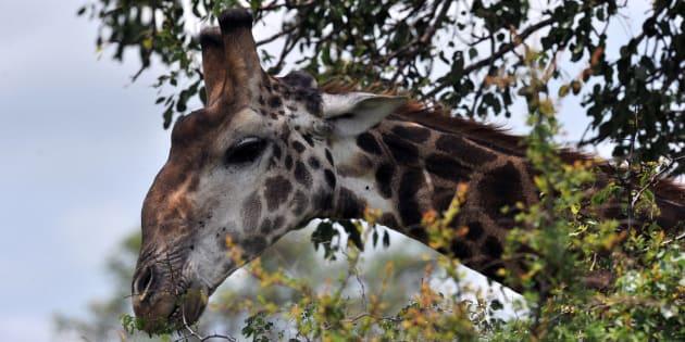 La girafe fait maintenant officiellement partie des espèces menacées