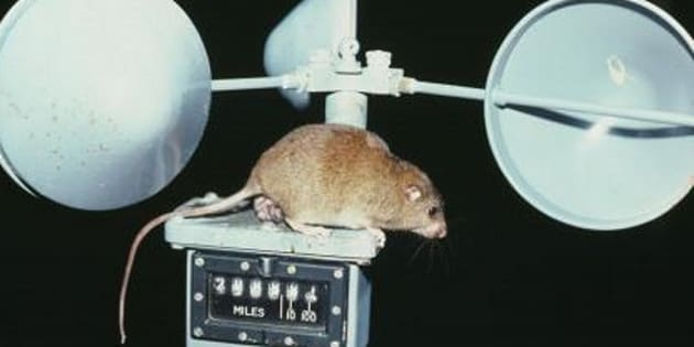 This is the face of climate change -- a now-extinct rat.