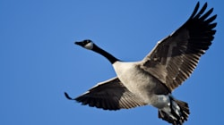 Goose Hunter Knocked Unconscious By Dead Bird Falling From