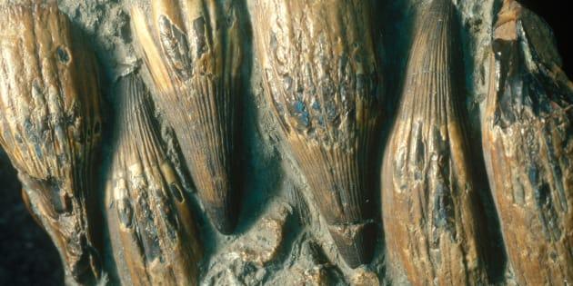 Parte de la mandíbula con dientes cónicos de un ictiosaurio. Los ictiosaurios eran reptiles marinos carnívoros.