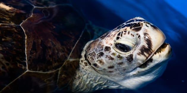 En théorie, la tortue marine aurait dû vivre encore une soixantaine d'années.