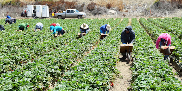 Seasonal farm workers pick and package strawberries. June 30, 2015.