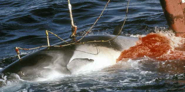 Japanese whaling in Northern Ross Sea Antarctica. Harpooned minke whale 1989. (Photo by: Photofusion/UIG via Getty Images)