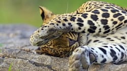 Leopard Beaten To Death With Axe And Wooden Sticks, Then Burnt In Gujarat