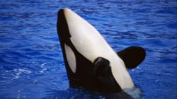 Mysterious Type Of Killer Whale Caught On Video Killing And Eating A