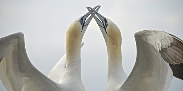 A courting pair of gannets on the Bass Rock