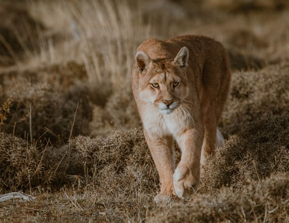 Mountain lion believed to have attacked girl caught
