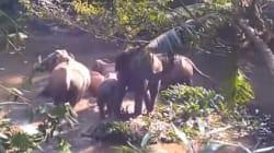 Secouru par des forestiers, cet éléphanteau a pu retrouver sa maman et son