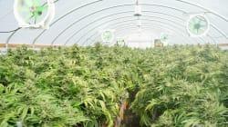 Les redevances sur le cannabis pas incluses dans le