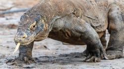Le sang des dragons de komodo pourrait résoudre le gros problème des