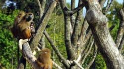 Les trois babouins du zoo de Vincennes retrouvés, le parc rouvre ses portes ce