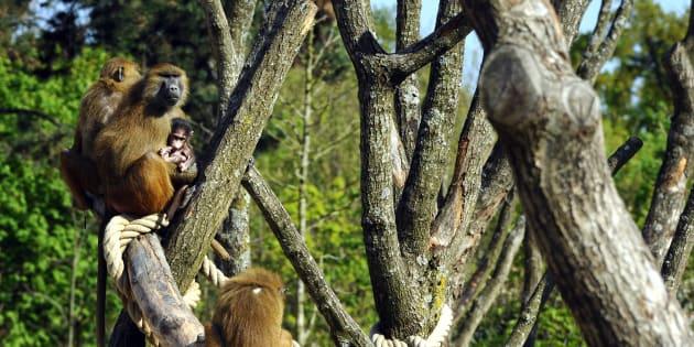 Les trois babouins du zoo de Vincennes retrouvés, le parc rouvre ses portes.