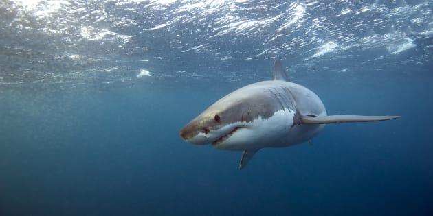 Après avoir réchappé à une attaque d'ours et une morsure de serpent, il échappe cette fois à un requin tigre.