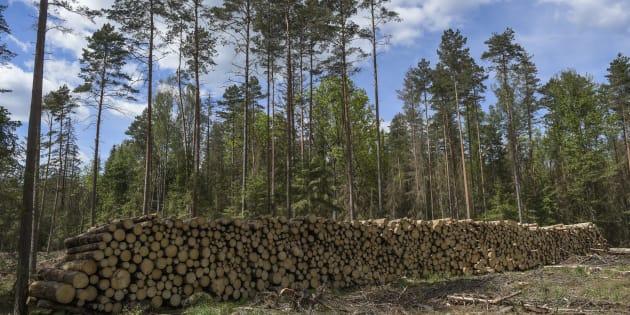 Bialowieza: La Pologne accusée d'avoir détérioré l'une des dernières forêts primaires d'Europe