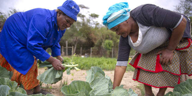 From left, Joyce Ncanywa and Mildred Jilane tend to their small garden on Yarrow farm in the Makana Municipality on September 19, 2013 in Grahamstown, South Africa. Yarrow farmland was acquired by the Department of Rural Development and Land Reform through their Proactive Land Acquisition Strategy, which purchases useful farmland and selects beneficiaries. Yarrow's initial beneficiary was unsuccessful with the land and ownership rights are unclear, though a small group of people now live on the land and tend to the farm's small garden, chickens, cows and pigs.