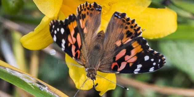 A painted lady butterfly is seen on a flower on Sept. 19, 2017 in Montreal.