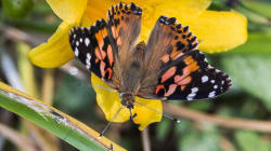 'Unprecedented' Number Of Gorgeous Butterflies Visit Montreal
